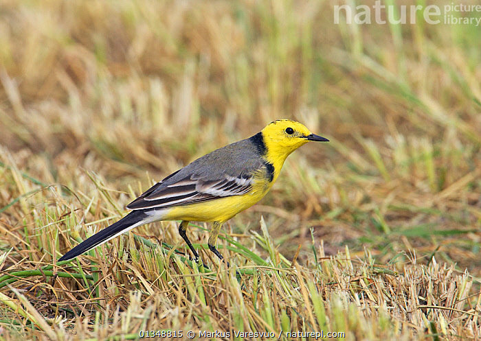 Citrine Wagtail (Motacilla citreola) on grass. Sultanate of Oman, March., ARABIA,ASIA,BIRDS,MIDDLE EAST,OMAN,PROFILE,VERTEBRATES,WAGTAILS, Markus Varesvuo