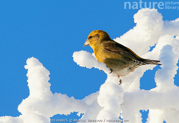 Common Crossbill (Loxia curvirostra) female perched on hoar-frost covered branches. Kuusamo, Finland, February., BIRDS,EUROPE,FINCHES,FINLAND,FROST,SCANDINAVIA,SNOW,VERTEBRATES,WINTER,Weather, Markus Varesvuo