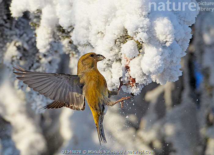 Common Crossbill (Loxia curvirostra) female batting the snow off a spruce cone that it wants to feed on. Kuusamo, Finland, February., BEHAVIOUR,BIRDS,EUROPE,FEEDING,FINCHES,FINLAND,FORAGING,FROST,SCANDINAVIA,SNOW,VERTEBRATES,WINTER,Weather, Markus Varesvuo