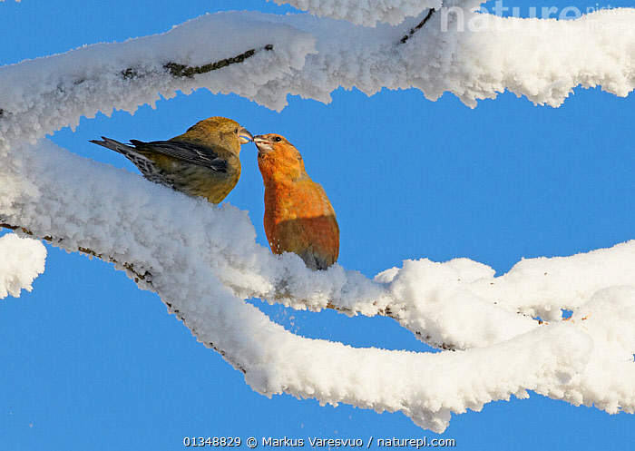 Common Crossbill (Loxia curvirostra) male and female greeting, Kuusamo, Finland, February., BIRDS,EUROPE,FINCHES,FINLAND,FROST,INTERACTION,SCANDINAVIA,SNOW,TWO,VERTEBRATES,WINTER,Weather, Markus Varesvuo
