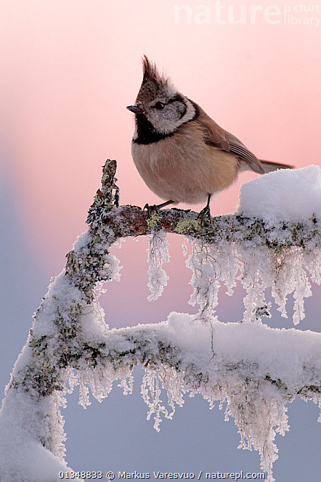 Crested tit (Lophophanes cristatus) perched on frosted twig. Posio, Finland, January., alert, animal portrait, BIRDS, branch, catalogue4FN, close up, COLD, Crested, EUROPE, Finland, ICE, icicle, Nobody, one animal, Paridae, Perching, PORTRAITS, Posio, SCANDINAVIA, SNOW, songbirds, TITS, VERTEBRATES, VERTICAL, watchful, WILDLIFE, WINTER, Markus Varesvuo
