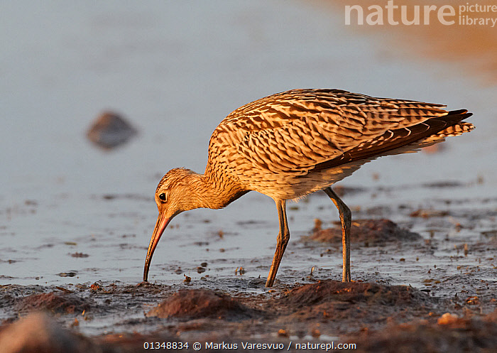 Curlew (Numenius arquata) foraging in shallow water. Uto, Finland, August., BIRDS,CURLEWS,EUROPE,FINLAND,FORAGING,SCANDINAVIA,VERTEBRATES,WADERS,Plovers, Markus Varesvuo