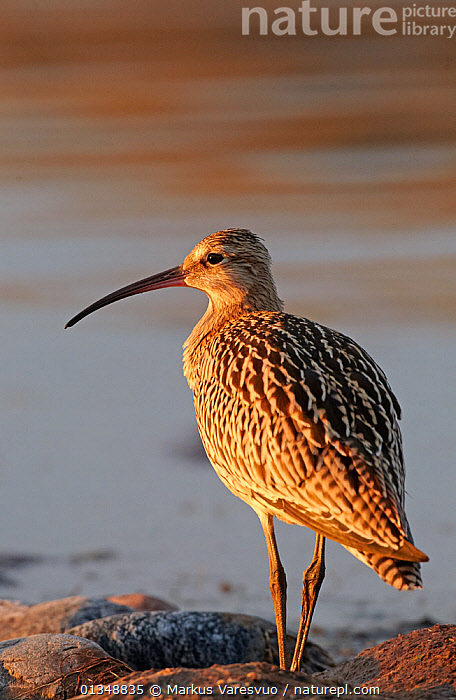 Curlew (Numenius arquata) in evening light. Uto, Finland, August., BIRDS,CURLEWS,EUROPE,FINLAND,PORTRAITS,REAR VIEW,SCANDINAVIA,VERTEBRATES,VERTICAL,WADERS,Plovers, Markus Varesvuo