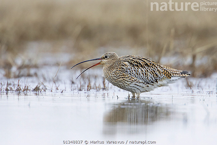 Curlew (Numenius arquata) standing in shallow water, calling. Liminka, Finland, May., BIRDS,CALLING,CURLEWS,EUROPE,FINLAND,HABITAT,PROFILE,SCANDINAVIA,VERTEBRATES,VOCALISATION,WADERS,WATER,Plovers, Markus Varesvuo