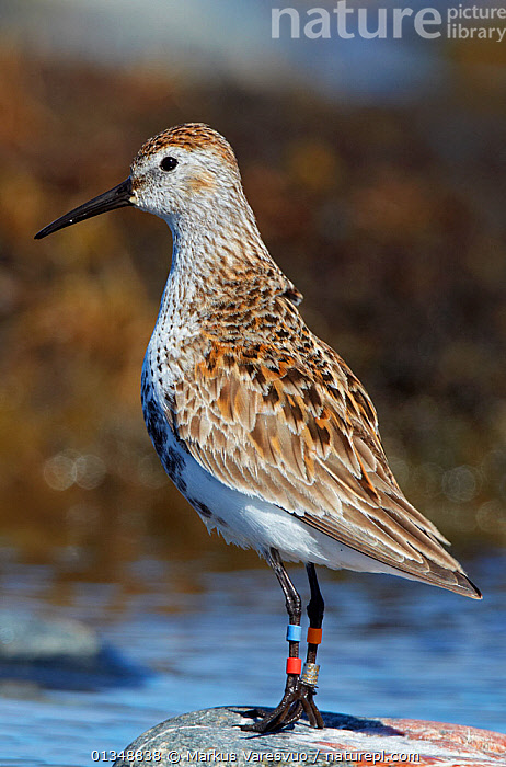 Portrait of a Dunlin (Calidris alpina schinzii) with leg rings. Uto, Finland, April., BIRDS,CONSERVATION,EUROPE,FINLAND,PORTRAITS,PROFILE,RESEARCH,SANDPIPERS,SCANDINAVIA,TAGGED,TAGS,VERTEBRATES,VERTICAL,WADERS,WATER, Markus Varesvuo