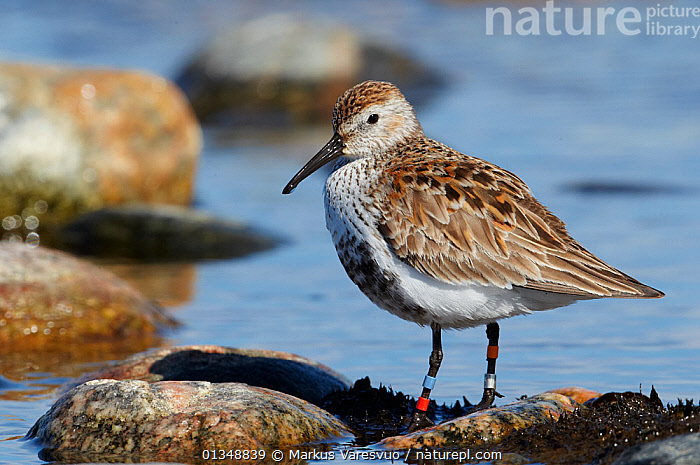 Portrait of  Dunlin (Calidris alpina schinzii) with leg rings. Uto, Finland, April.  ,  BIRDS,CONSERVATION,EUROPE,FINLAND,PORTRAITS,RESEARCH,SANDPIPERS,SCANDINAVIA,TAGS,VERTEBRATES,WADERS,WATER  ,  Markus Varesvuo