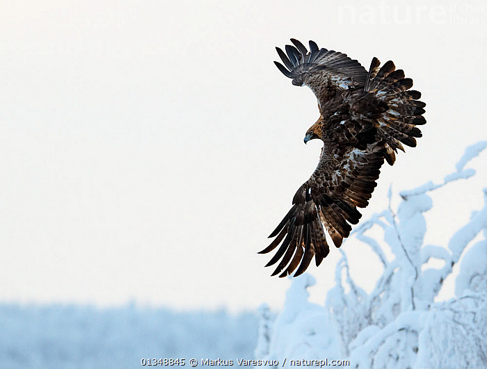 Golden Eagle (Aquila chrysaetos) in flight over frosty branches. Kuusamo, Finland, February., BIRDS,BIRDS OF PREY,EAGLES,EUROPE,FINLAND,FLYING,FROST,SCANDINAVIA,SNOW,VERTEBRATES,Weather,Raptor, Markus Varesvuo