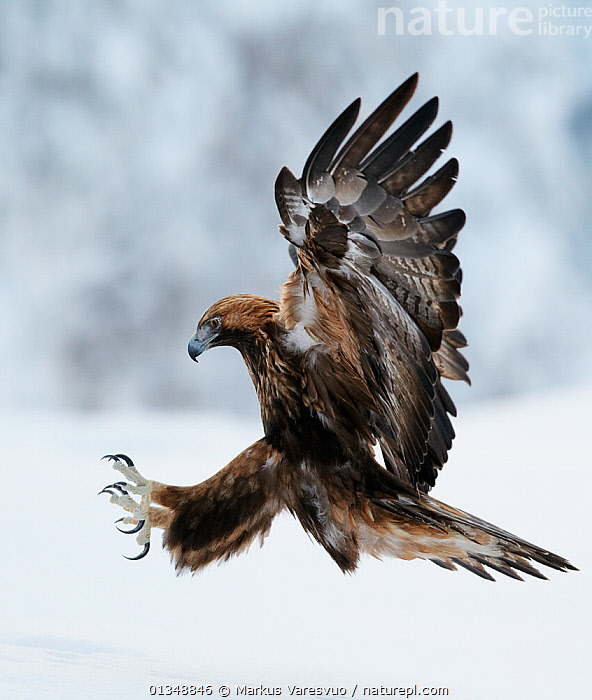 Golden Eagle (Aquila chrysaetos) coming in to land with claws spread. Kuusamo, Finland, February., ACTION,BIRDS,BIRDS OF PREY,CLAWS,EAGLES,EUROPE,FINLAND,FLYING,PREDATION,SCANDINAVIA,SNOW,VERTEBRATES,Behaviour,Raptor, Markus Varesvuo