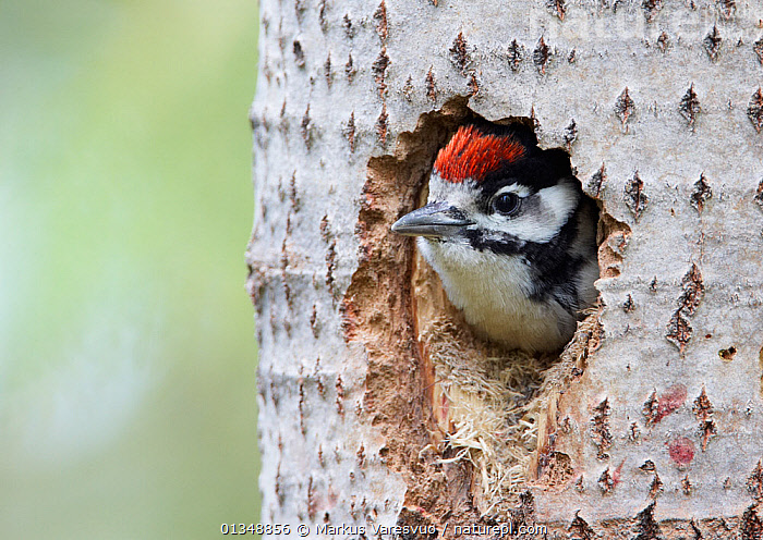 Great Spotted Woodpecker (Dendrocopos major) peering out from its hole in a tree. Vaala, Finland, June.  ,  BIRDS,COPYSPACE,DENS,EUROPE,FINLAND,HOLES,NESTS,SCANDINAVIA,VERTEBRATES,WOODPECKERS  ,  Markus Varesvuo