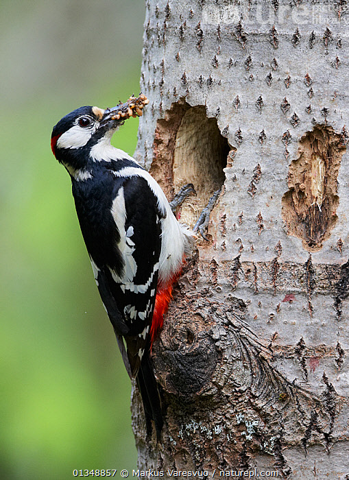 Great Spotted Woodpecker (Dendrocopus major) perched by its hole with a beak full of ant larvae. Some ants are making a futile attack on the bird's wings. Vaala, Finland, June., AMAZING,ANTS,BEHAVIOUR,BIRDS,EUROPE,FEEDING,FINLAND,FOOD,HOLES,LARVAE,NESTS,PREDATION,PREY,SCANDINAVIA,VERTEBRATES,VERTICAL,WOODPECKERS, Markus Varesvuo