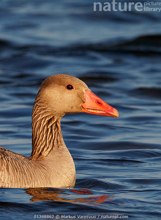 Portrait of a Greylag Goose (Anser anser) on water. Finland, July., BIRDS,EUROPE,FINLAND,GEESE,HEADS,PORTRAITS,SCANDINAVIA,VERTEBRATES,VERTICAL,WATER,WATERFOWL, Markus Varesvuo