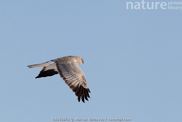 Hen Harrier (Circus cyaneus) in flight. Uto, Finland, March., BIRDS,BIRDS OF PREY,CUTOUT,EUROPE,FINLAND,FLYING,HARRIERS,SCANDINAVIA,VERTEBRATES, Markus Varesvuo