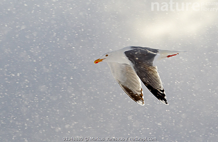 Herring Gull (Larus argentatus) flying in snow Norway, March.  ,  animals in the wild,BIRDS,catalogue4FN,close up,DETERMINATION,direction,EUROPE,flight,FLYING,full length,GULLS,Laridae,Nobody,NORWAY,on the move,one animal,resilience,SCANDINAVIA,SEABIRDS,side view,SNOW,snowing,VERTEBRATES,WILDLIFE,CONCEPTS  ,  Markus Varesvuo