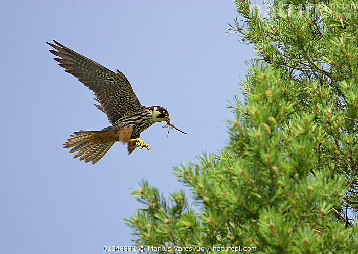 Hobby (Falco subbuteo) with a large dragonfly in its beak. Tammisaari, Finland, July., BEHAVIOUR,BIRDS,BIRDS OF PREY,DRAGONFLIES,EUROPE,FALCONS,FEEDING,FINLAND,FLYING,PREDATION,PREY,SCANDINAVIA,VERTEBRATES, Markus Varesvuo