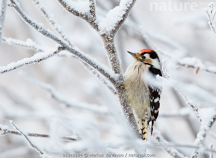 Lesser Spotted Woodpecker (Dendrocopos minor) on frosted branches. Kuusamo, Finland, January., BIRDS,EUROPE,FINLAND,FROST,PICIDAE,SCANDINAVIA,SNOW,VERTEBRATES,WINTER,WOODPECKERS,Weather, Markus Varesvuo