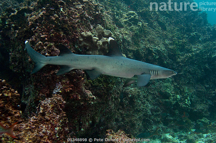 White-tipped reef shark (Triaenodon obesus) territorial behaviour, off Wolf Island,  Galapagos Islands, November, BEHAVIOUR,CHONDRICHTHYES,COASTAL WATER,FISH,GALAPAGOS,MARINE,ROCKS,SHARKS,TROPICAL,UNDERWATER,VERTEBRATES,SOUTH-AMERICA, Pete Oxford