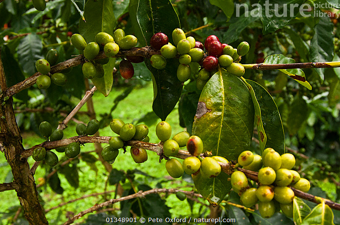 Galapagos coffee (Coffea sp) grown under the shade of the endemic (Scalesia pedunculata) trees, for export, Highlands of Santa Cruz Island, Galapagos, CROPS,DICOTYLEDONS,FRUIT,GALAPAGOS,PLANTS,RUBIACEAE,TREES, Pete Oxford