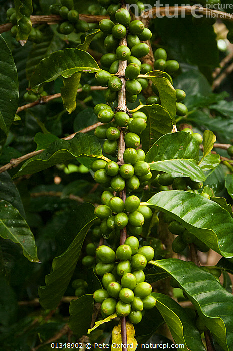 Galapagos coffee (Coffea sp) grown under the shade of the endemic (Scalesia pedunculata) trees, for export, Highlands of Santa Cruz Island, Galapagos  ,  CROPS,DICOTYLEDONS,FRUIT,GALAPAGOS,GREEN,PLANTS,RUBIACEAE,TREES,VERTICAL  ,  Pete Oxford