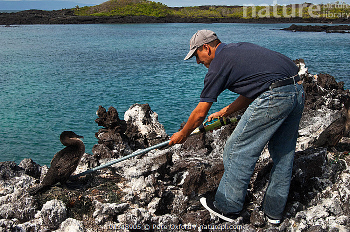 Research worker examines Flightless Cormorant (Phalacrocorax / Nannopterum harrisi) on nest, in order to read its tag, endemic. Isabela Island, Galapagos, September 2008  ,  BIRDS,COASTS,CORMORANT,CORMORANTS,ENDANGERED,ENDEMIC,FLIGHTLESS,GALAPAGOS,LANDSCAPES,MAN,NESTS,OUTDOORS,PEOPLE,RESEARCH,SEABIRDS,VERTEBRATES,WORKING,SOUTH-AMERICA  ,  Pete Oxford