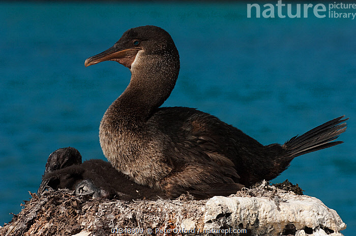 Flightless Cormorant (Phalacrocorax / Nannopterum harrisi) on nest with chicks, endemic. Isabela Island, Galapagos, September, Endangered, BIRDS,CHICK,CHICKS,COASTS,CORMORANT,CORMORANTS,ENDANGERED,ENDEMIC,FAMILIES,FLIGHTLESS,NESTS,SEABIRDS,VERTEBRATES,SOUTH-AMERICA, Pete Oxford