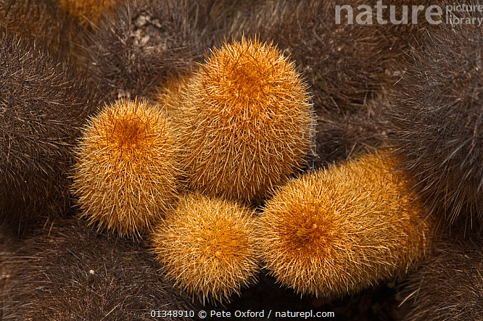Lava Cactus (Brachycereus nesioticus) growing on the volcanic lava of Isabela Island, Galapagos Islands, Endemic  ,  CACTACEAE,CACTI,CACTUS,DICOTYLEDONS,GALAPAGOS,PLANTS,ROCKS,VOLCANOES,Geology  ,  Pete Oxford