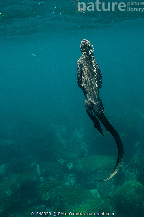 Marine iguana (Amblyrhynchus cristatus) swimming up to the surface after feeding on algae, Cabo Douglas, Fernandina Island, Galapagos, endemic, ALGAE,BEHAVIOUR,BLUE,Cabo Douglas,catalogue4,close up,DIVING,ENDEMIC,exploration,FEEDING,Fernandina Island,full length,GALAPAGOS,IGUANAS,LIZARDS,MARINE,MOVEMENT,Nobody,on the move,one animal,rear view,REPTILES,SWIMMING,TROPICAL,TURQUOISE,UNDERWATER,VERTEBRATES,VERTICAL,WATER,WILDLIFE,Plants,SOUTH-AMERICA,,Lizards,,,Lizards,, Pete Oxford