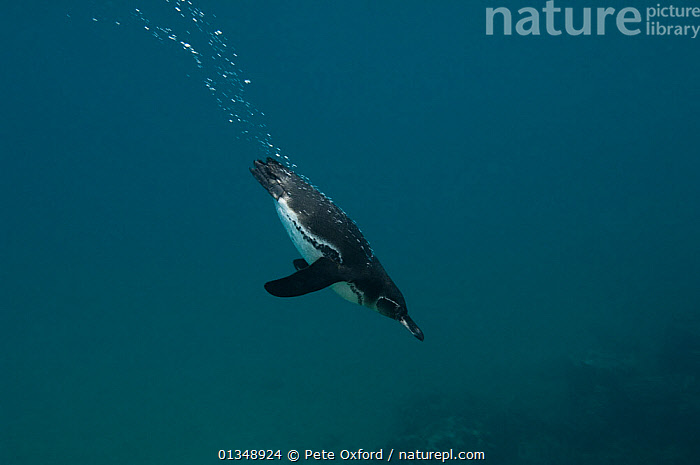 Galapagos penguin (Spheniscus mendiculus) diving underwater, Bartolome Island, Galapagos, endemic.  ,  air bubble,Bartolome Island,BEHAVIOUR,BIRDS,BLUE,bubbles,catalogue4,close up,copyscape,copyspace,DETERMINATION,direction,DIVING,ENDEMIC,FLIGHTLESS,full length,GALAPAGOS,MARINE,Nobody,on the move,one animal,PENGUINS,SEABIRDS,SEALIFE,side view,SPEED,SWIMMING,TURQUOISE,UNDERWATER,VERTEBRATES,WILDLIFE,CONCEPTS,SOUTH-AMERICA  ,  Pete Oxford