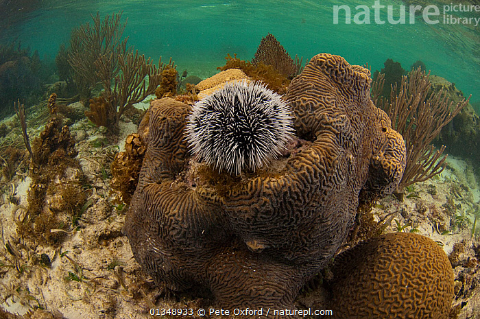 West Indian sea egg urchin (Tripneustes ventricosus) Coral Reef Island, Belize Barrier Reef, Belize, CARIBBEAN,CENTRAL AMERICA,CORAL REEFS,ECHINODERMS,ECHINOIDEA,INVERTEBRATES,MARINE,SEA URCHINS,SPINES,TROPICAL,UNDERWATER,CENTRAL-AMERICA,West Indies, Pete Oxford