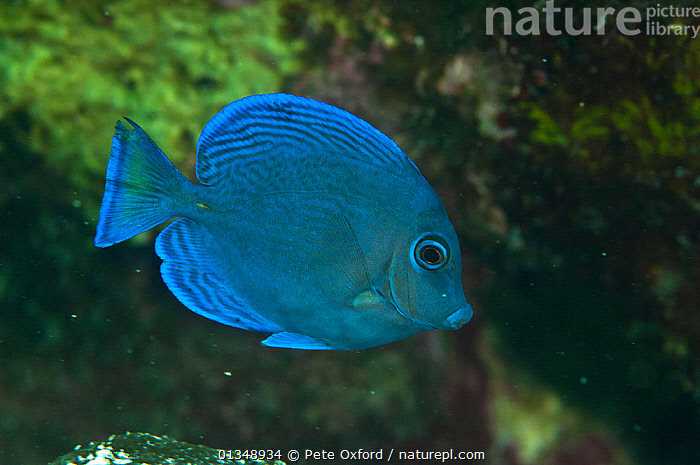 Blue tang (Acanthurus coeruleus) Coral Reef Island, Belize Barrier Reef, Belize, BLUE,CARIBBEAN,CENTRAL AMERICA,COLOURFUL,CORAL REEFS,FISH,MARINE,OSTEICHTHYES,SURGEONFISH,TROPICAL,UNDERWATER,VERTEBRATES,CENTRAL-AMERICA,West Indies, Pete Oxford