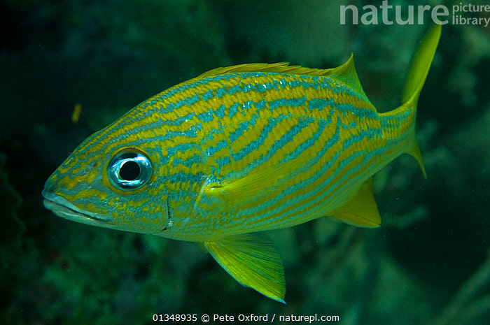 French grunt (Haemulon flavolineatum) Coral Reef Island, Belize Barrier Reef, Belize  ,  CARIBBEAN,CENTRAL AMERICA,FISH,GREEN,GRUNTS,MARINE,OSTEICHTHYES,PORTRAITS,TROPICAL,UNDERWATER,VERTEBRATES,CENTRAL-AMERICA,West Indies  ,  Pete Oxford