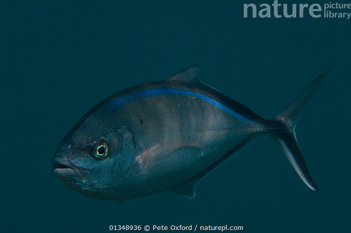 Bar Jack (Carangoides / Caranx ruber) Coral Reef Island, Belize Barrier Reef, Belize, BLUE,CARIBBEAN,FISH,JACKS,MARINE,OSTEICHTHYES,PORTRAITS,TROPICAL,UNDERWATER,VERTEBRATES,CENTRAL-AMERICA,West Indies, Pete Oxford