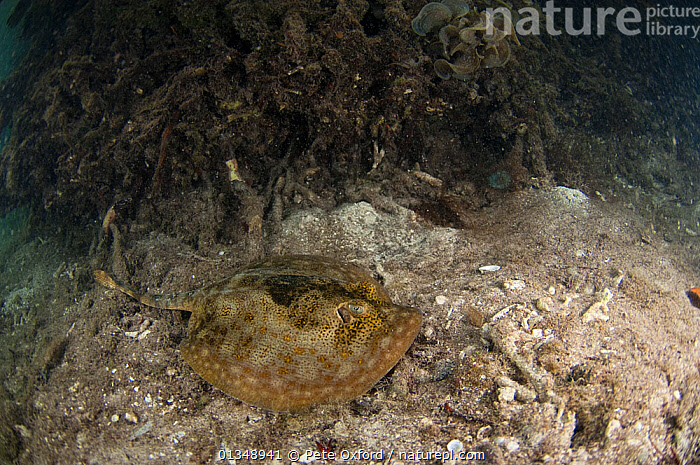 Yellow Stingray (Urobatis jamaicensis) on seabed, Coral Reef Island, Belize Barrier Reef, Belize, CARIBBEAN, CENTRAL-AMERICA, CHONDRICHTHYES, FISH, RAYS, TROPICAL, UNDERWATER, VERTEBRATES,West Indies, Pete Oxford
