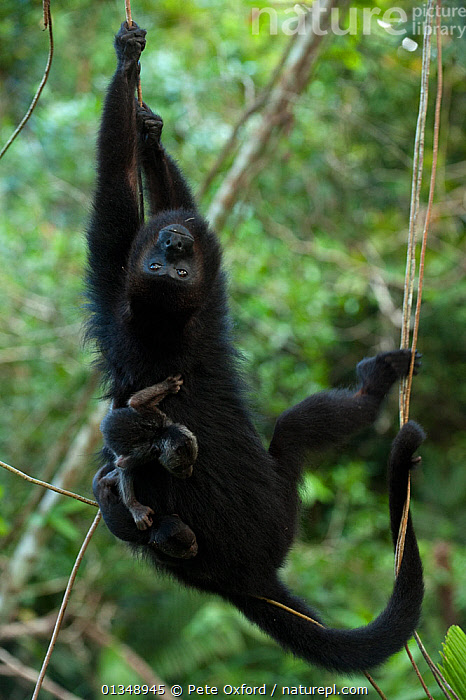 Guatemalan / Yucatan black howler monkey (Alouatta pigra) mother with her own baby and also carrying a baby from second female, Community Baboon Center, Belize.  Endangerd species, ATELIDAE,BABIES,CARRYING,CENTRAL AMERICA,ENDANGERED,MAMMALS,MONKEYS,MOTHER BABY,PARENTAL BEHAVIOUR,PRIMATES,RESERVE,TROPICAL RAINFOREST,VERTEBRATES,VERTICAL, Pete Oxford