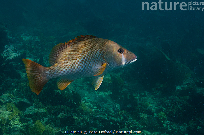Dog Snapper (Lutjanus jocu) Coral Reef Island, Belize Barrier Reef, Belize  ,  CARIBBEAN,CENTRAL AMERICA,FISH,LUTJANIDAE,OSTEICHTHYES,SNAPPERS,TROPICAL,UNDERWATER,VERTEBRATES,CENTRAL-AMERICA,West Indies,Dogs,Canids  ,  Pete Oxford