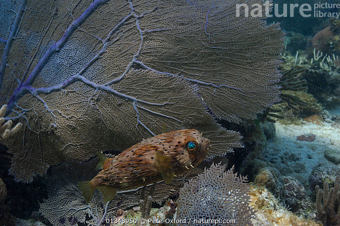 Balloonfish (Diodon holocanthus) beside fan coral, Coral Reef Island, Belize Barrier Reef, Belize, CARIBBEAN,CORAL REEFS,FISH,LONGSPINE PORCUPINEFISH,MARINE,OSTEICHTHYES,PORCUPINEFISH,SPINY PUFFERFISH,TROPICAL,UNDERWATER,VERTEBRATES,CENTRAL-AMERICA,West Indies, Pete Oxford