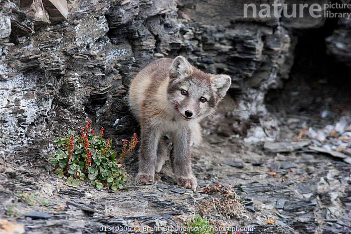 Arctic fox (Alopex / Vulpes lagopus) on a rocky ledge. Diskobukta, Svalbard, July., animals in the wild,ARCTIC,CANIDS,CARNIVORES,catalogue4,curiosity,Diskobukta,EXPRESSIONS,FOXES,front view,full length,grey,inquisitive,ledge,looking at camera,MAMMALS,Nobody,one animal,PORTRAITS,Rocky,STANDING,Svalbard,VERTEBRATES,WILDLIFE,Dogs, Brent Stephenson