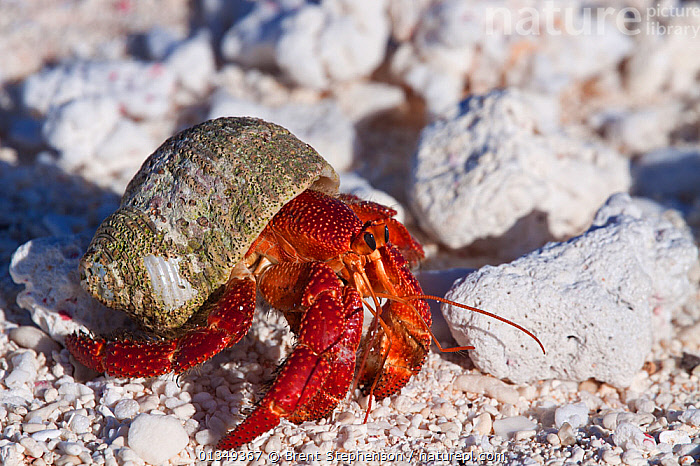 Strawberry Hermit Crab (Coenobita perlatus) walking over coral rubble. Takutea, Cook Islands, November.  ,  ARTHROPODS,CRUSTACEANS,HERMIT CRABS,INVERTEBRATES,PACIFIC ISLANDS,RED,shells,WESTERN POLYNESIA  ,  Brent Stephenson