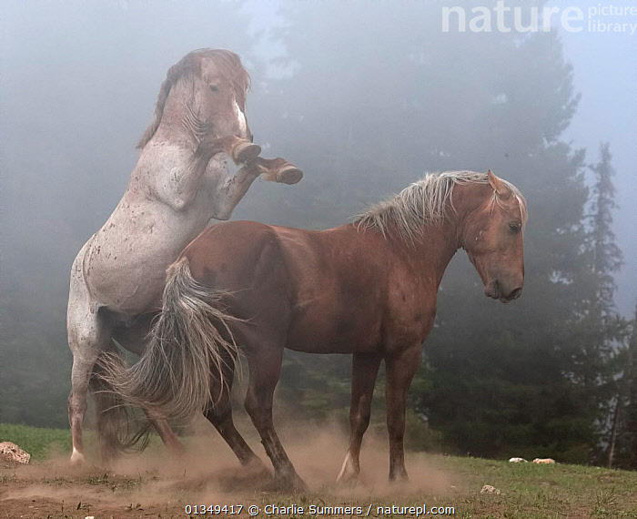 Two Wild Horse Stallions (Equus caballus) fighting in mist. Montana, USA, June., ACTION,AGGRESSION,catalogue4,dark,DOMINANCE,DRAMATIC,feral,FIGHTING,HABITAT,HORSES,male animal,MALES,MAMMALS,MIST,misty,montana,MOVEMENT,mystery,Nobody,NORTH AMERICA,PERISSODACTYLA,rearing,stallion,TERRITORIAL,two,two animals,USA,VERTEBRATES,wild horse,woodland, Charlie Summers