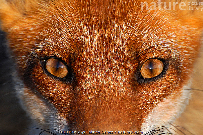Close-up portrait of a Red Fox (Vulpes vulpes). Vosges, France, June. Not available for ringtone/wallpaper use.  ,  AMAZING,animal eyes,BROWN,CANIDS,CARNIVORES,catalogue4,close up,CLOSE UPS,EUROPE,EXPRESSIONS,EYES,FACES,FOXES,FRANCE,front view,full frame,FUR,HEADS,intense,looking at camera,MAMMALS,menacing,Nobody,one animal,PORTRAITS,RED,staring,Threats,VERTEBRATES,Vosges,WILDLIFE,Dogs,RINGTONE  ,  Fabrice Cahez
