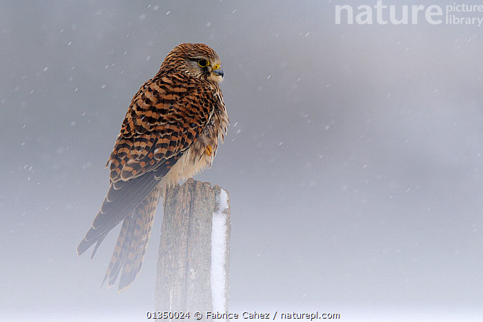 Kestrel (Falco tinnunculus) perched on a post. Vosges, France, February.  ,  BIRDS,BIRDS OF PREY,EUROPE,FALCONIDAE,FALCONS,FRANCE,SNOWING,VERTEBRATES,WINTER  ,  Fabrice Cahez
