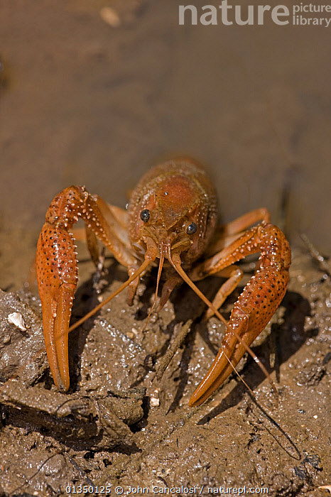 Red Swamp Crawfish / Crayfish (Procambarus clarkii) at water edge. Louisiana, USA, April. Important commercial food item.  ,  ARTHROPODS,CAMBARIDAE,CRAWFISH,CRAYFISH,CRUSTACEANS,FRESHWATER,HABITAT,INVERTEBRATES,NORTH AMERICA,PORTRAITS,USA,VERTICAL,WATER  ,  John Cancalosi