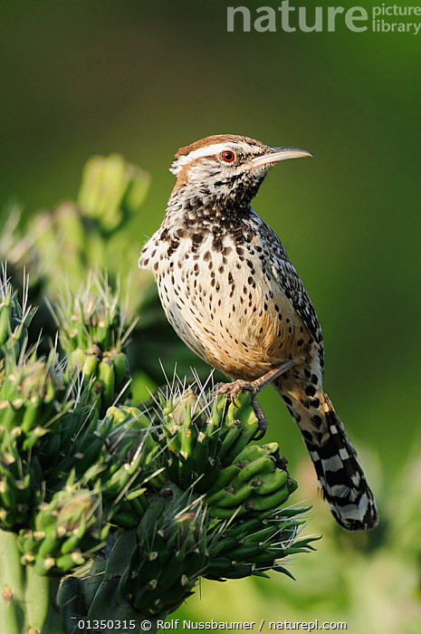 Cactus Wren (Campylorhynchus brunneicapillus), adult perched on Cane Cholla (Opuntia imbricata). Laredo, Webb County, South Texas, USA, April.  ,  BIRDS,PORTRAITS,USA,VERTICAL,WRENS,NORTH AMERICA,SONGBIRDS,TEXAS,VERTEBRATES  ,  Rolf Nussbaumer