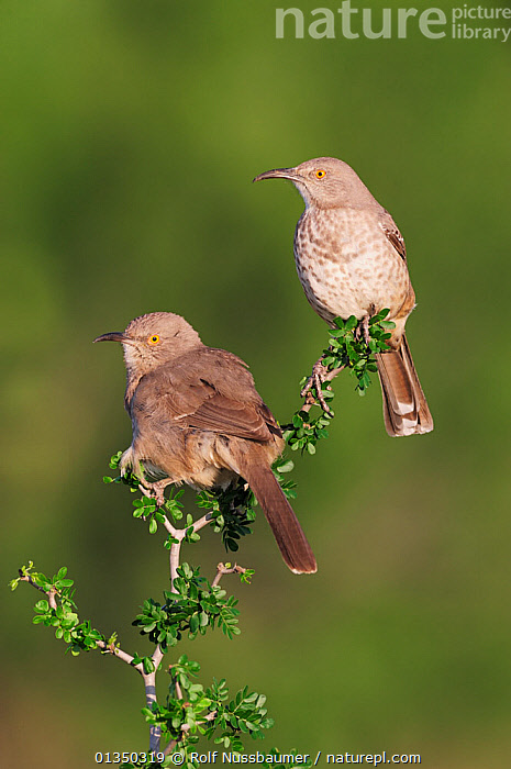 Two Curve-billed Thrashers (Toxostoma curvirostre) perched. Laredo, Webb County, South Texas, USA, April.  ,  BIRDS,TWO,USA,VERTICAL,NORTH AMERICA,SONGBIRDS,TEXAS,THRASHERS,VERTEBRATES  ,  Rolf Nussbaumer