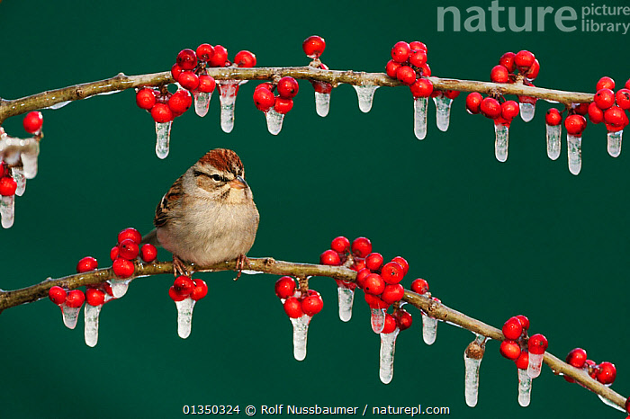 Chipping Sparrow (Spizella passerina) adult on ice covered Possum Haw Holly (Ilex decidua) berries. New Braunfels, San Antonio, Hill Country, Central Texas, USA, January.  ,  berries,BIRDS,catalogue4,Central Texas,Christmas,COLD,FRUIT,Hill Country,ICE,icicle,Ilex decidua,New Braunfels,Nobody,NORTH AMERICA,one animal,patience,PORTRAITS,Possum Haw Holly,RED,reilience,san antonio ,SITTING,songbirds,SPARROWS,texas,USA,VERTEBRATES,WILDLIFE,WINTER,Plants  ,  Rolf Nussbaumer