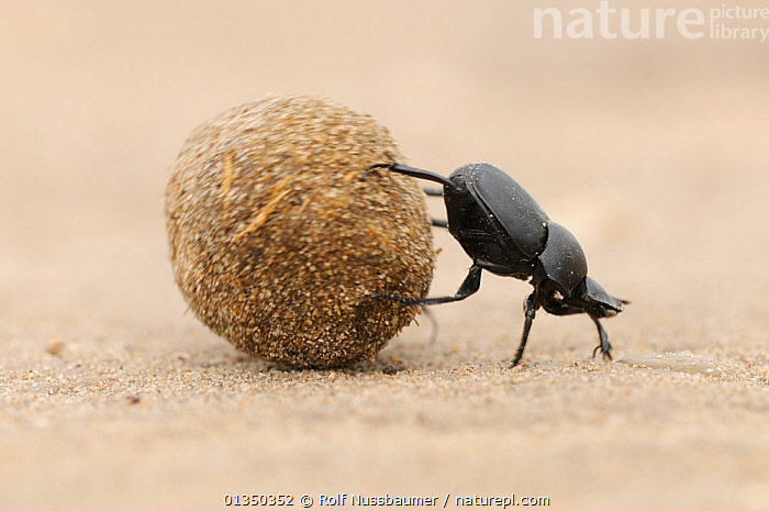 Dung Beetle (Scarabaeinae) adult rolling dung ball. Laredo, Webb County, South Texas, USA Not available for ringtone/wallpaper use.  ,  Balance,BEETLES,BEHAVIOUR,catalogue4,close up,COLEOPTERA,control,dung ball,effort,INSECTS,INVERTEBRATES,Laredo,Nobody,NORTH AMERICA,on the move,one animal,REPRODUCTION,rolling,SCARAB BEETLES,South Texas,texas,USA,Webb county,WILDLIFE,RINGTONE  ,  Rolf Nussbaumer