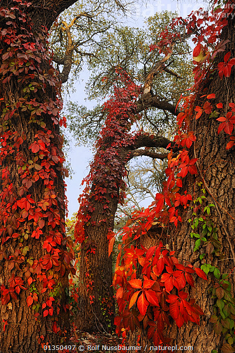Virginia creeper (Parthenocissus quinquefolia), climbing on Live Oak (Quercus virginiana) with fall colors, Kerrville, Hill Country, Central Texas, USA, November.  ,  AUTUMN,catalogue4,Central Texas,close up,DICOTYLEDONS,GROWTH,Hill Country,Kerrville,LEAVES,Live Oak,nature,Nobody,NORTH AMERICA,PLANTS,Quercus virginiana,RED,texas,USA,VERTICAL,VITACEAE,Concepts  ,  Rolf Nussbaumer