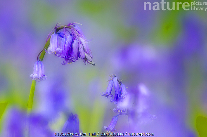 Bluebell flower (Hyacinthoides non-scripta) with soft focus effect, The National Forest, Midlands, UK, April 2011  ,  2020VISION, ARTY-SHOTS, bha_02_04212011346, BLUE, Blurred, delicate, EUROPE, FLOWERS, FORESTS, LILIACEAE, MONOCOTYLEDONS, PLANTS, SPRING, The National Forest, UK, WOODLANDS,United Kingdom,2020cc  ,  Ben Hall / 2020VISION