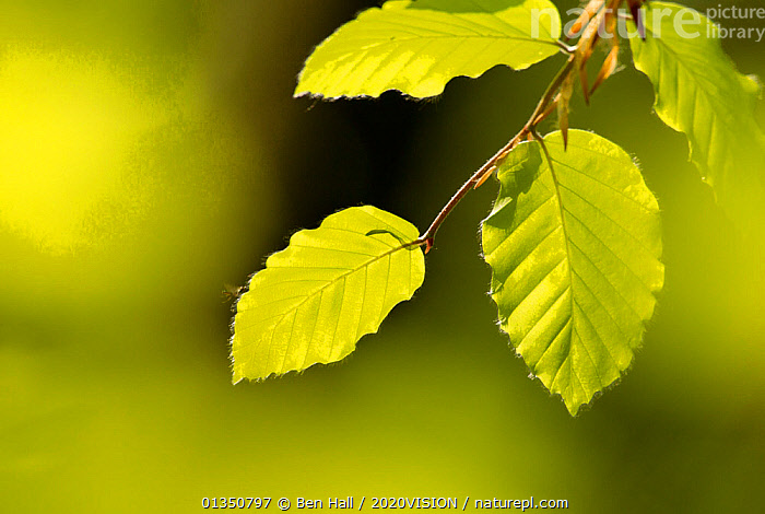 Beech leaves (Fagus sylvatica) in dappled light in woodland, National Forest, Midlands, UK, April UK. Did you know? Since the inception of The National Forest, nearly 8 million trees have been planted � many by local communities.  ,  2020VISION,ARTY SHOTS,bha_02_04212011419,DICOTYLEDONS,EUROPE,FAGACEAE,FORESTS,GREEN,LEAVES,picday,PLANTS,SPRING,The National Forest,UK,WOODLANDS,United Kingdom,2020cc  ,  Ben Hall / 2020VISION