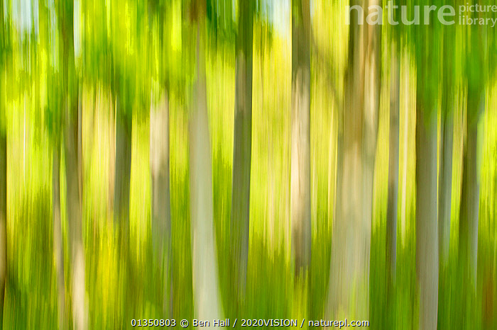 Tree abstract, The National Forest, UK, Spring, 2011  ,  2020VISION,ABSTRACT,ARTY SHOTS,bha_02_04212011466,Blurred,EUROPE,FORESTS,GREEN,SPRING,The National Forest,TREES,TRUNKS,UK,woodland,WOODLANDS,PLANTS,United Kingdom  ,  Ben Hall / 2020VISION