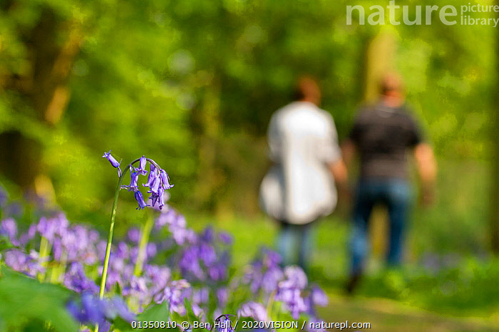 Bluebells (Hyacinthoides non-scripta) at the edge of woodland path with couple walking in the background, The National Forest, UK, Spring, 2011  ,  2020VISION, bha_02_04212011598, BLUE, Bluebell, couple, EUROPE, FLOWERS, FORESTS, LEISURE, LILIACEAE, MONOCOTYLEDONS, outdoors, PEOPLE, PLANTS, selective focus, SPRING, The National Forest, UK, walker, WALKING, WOODLANDS,United Kingdom,2020cc  ,  Ben Hall / 2020VISION